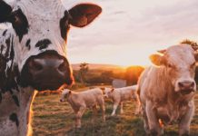 A picture of cows in a filed - Business News UK