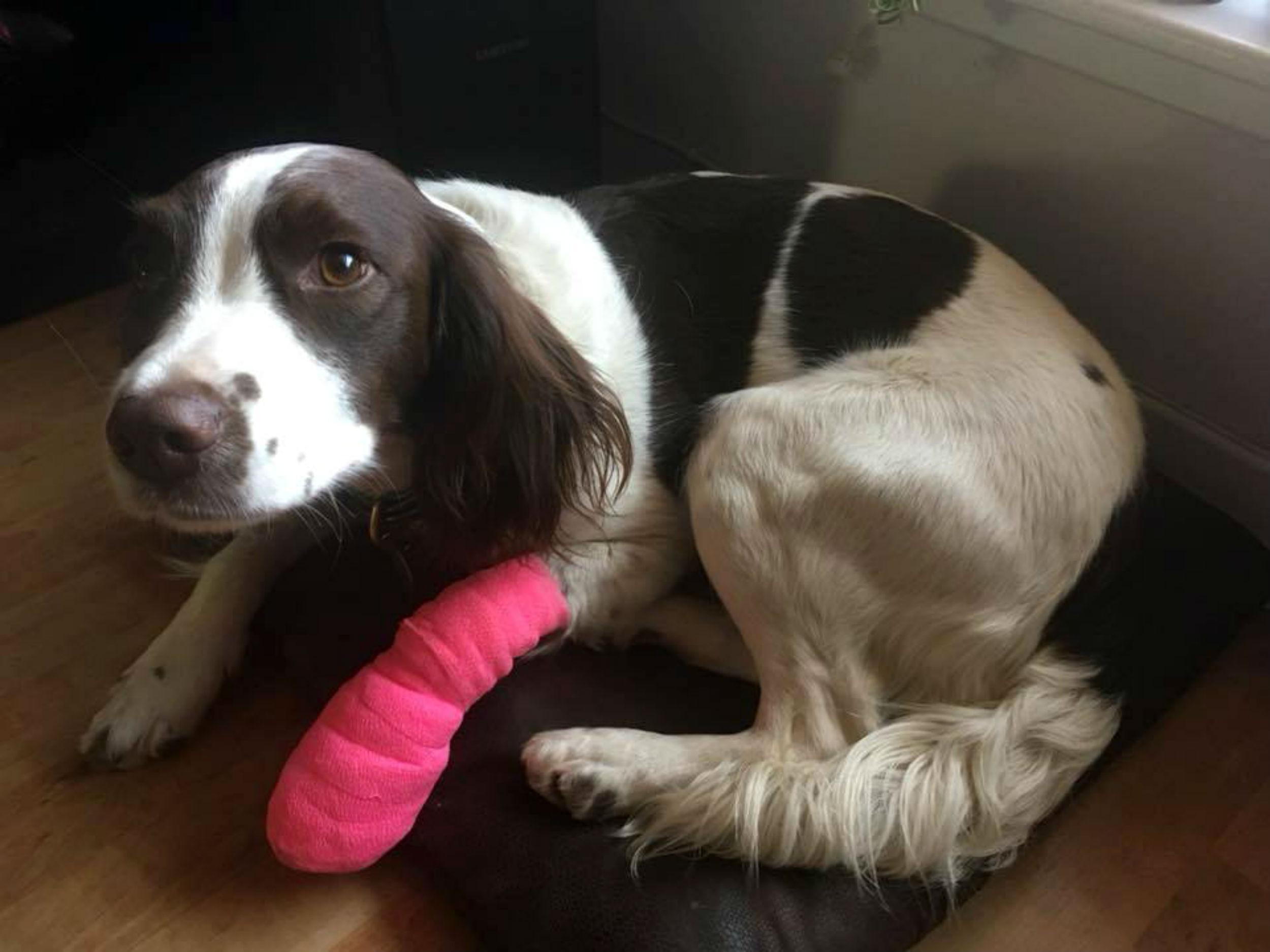 Stoned spaniel in bandage - Scottish News