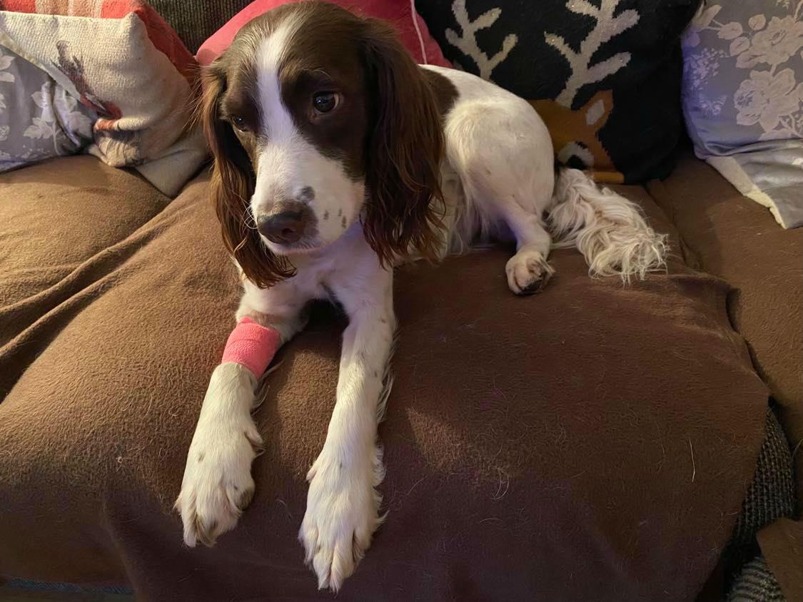 Stoned spaniel with bandage - Scottish News