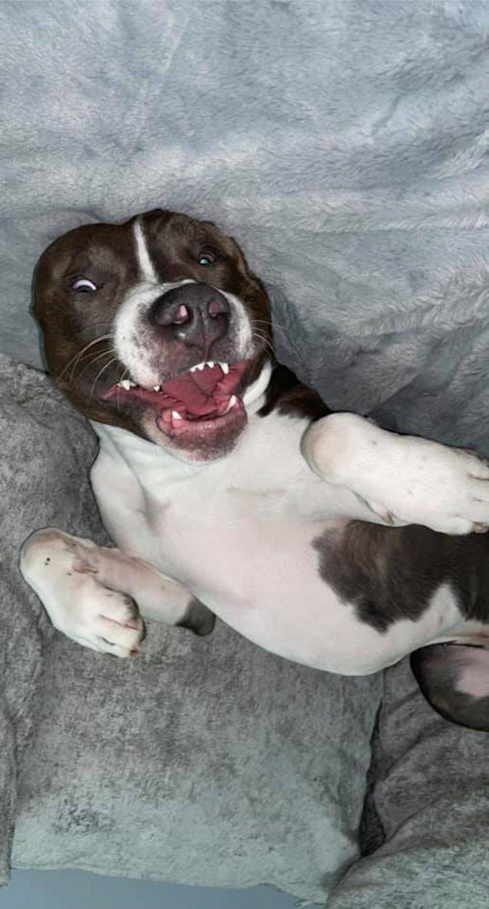 merican Staffordshire terrier Pablo - Viral News UK