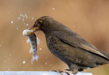 Amateur photographer captures female Blackbird eating fish - Nature News Scotland