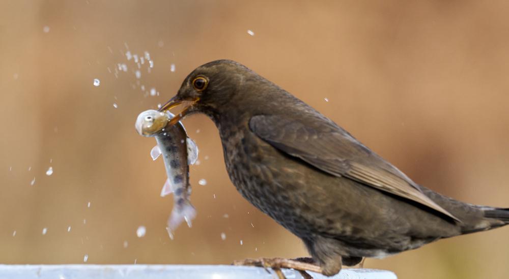 Amateur photographer captures female Blackbird eating fish - Nature News Scotland