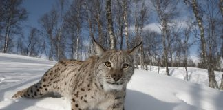 Reintroducing Eurasian lynx - Nature News Scotland