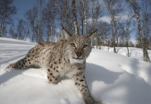 Reintroducing Eurasian lynx - Nature News Scotland