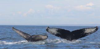 Humpback whales Kershaw - Research News Scotland