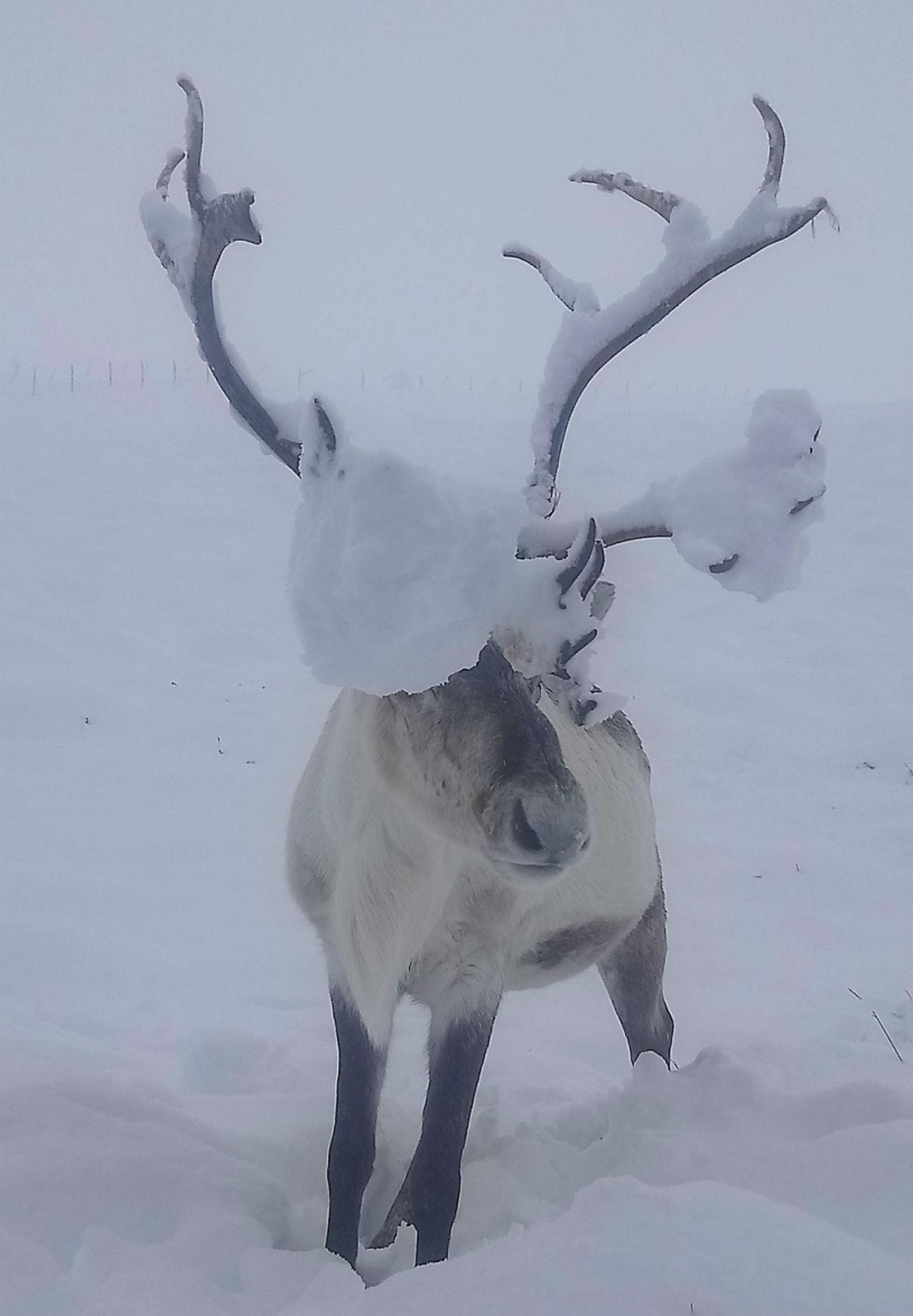 Reindeer with snow on - Scottish News