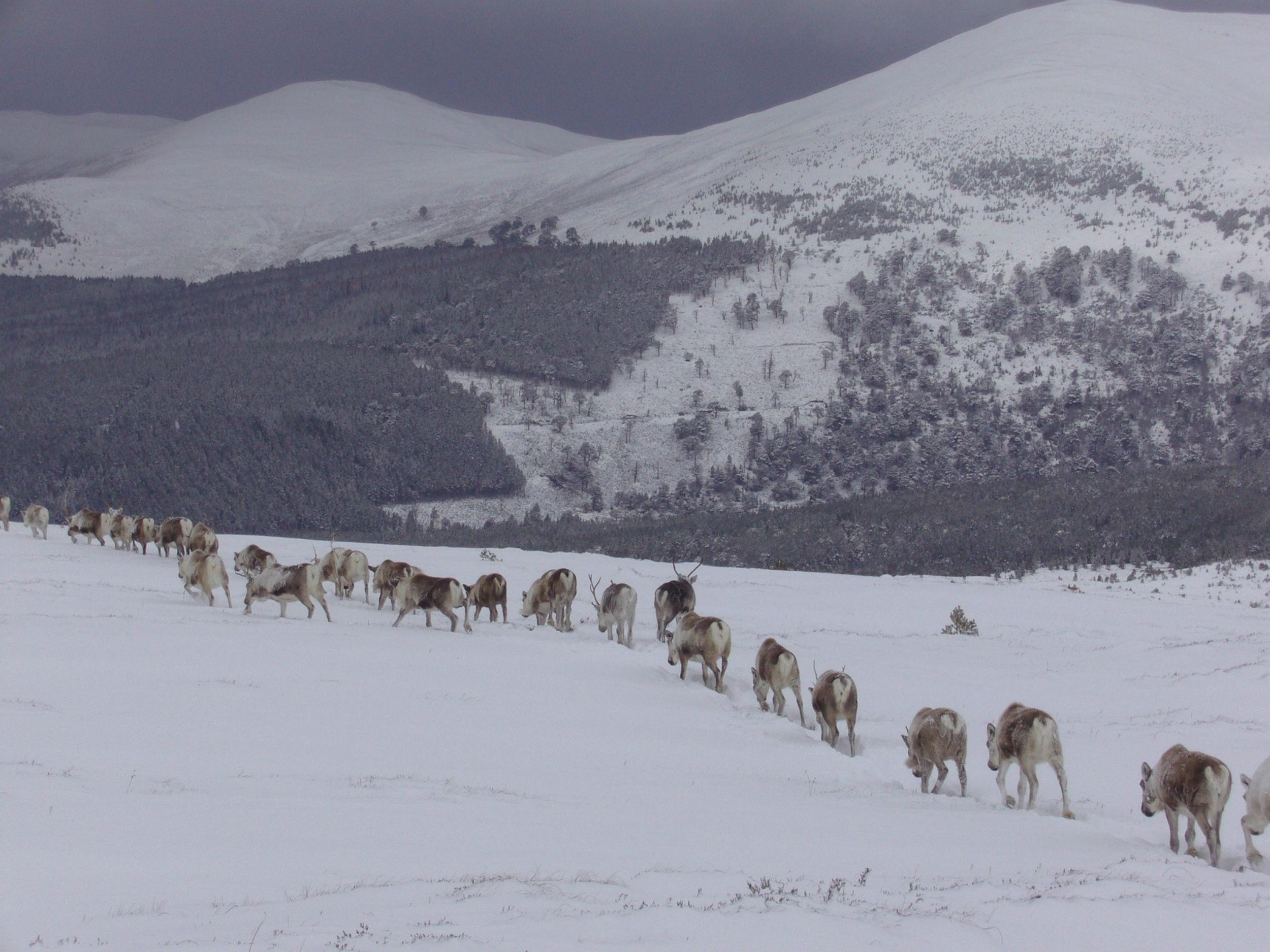 Reindeer moving down mountain - Scottish news