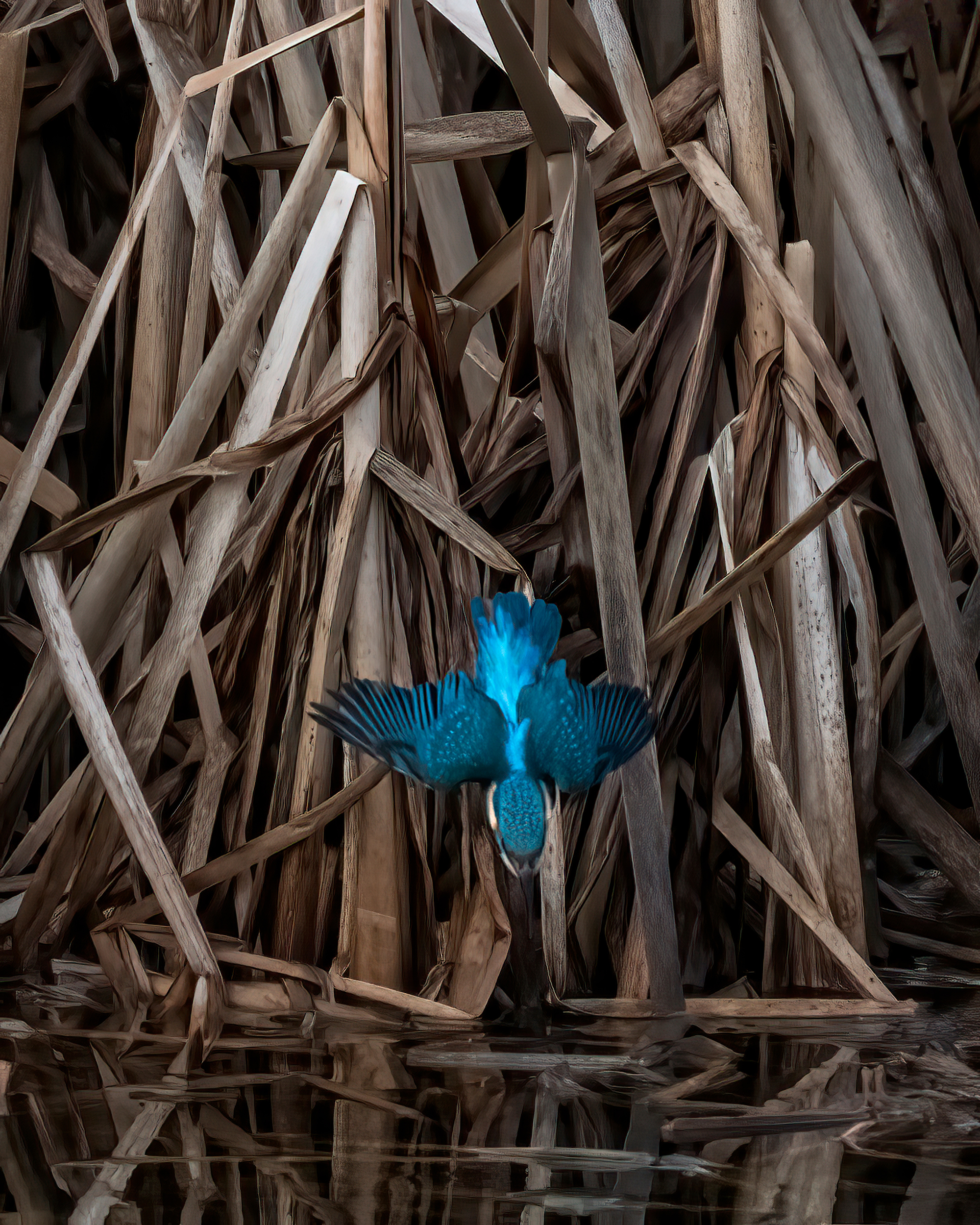 Kingfisher diving - Nature News Scotland