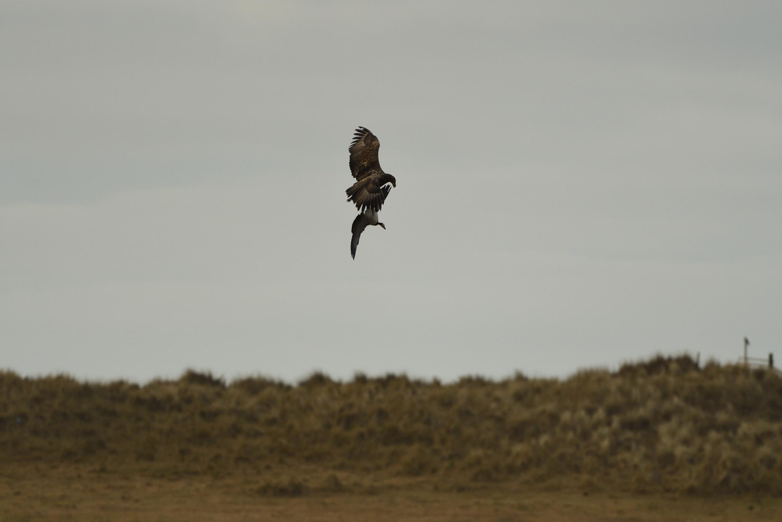 Eagle grappling goose - Nature News Scotland