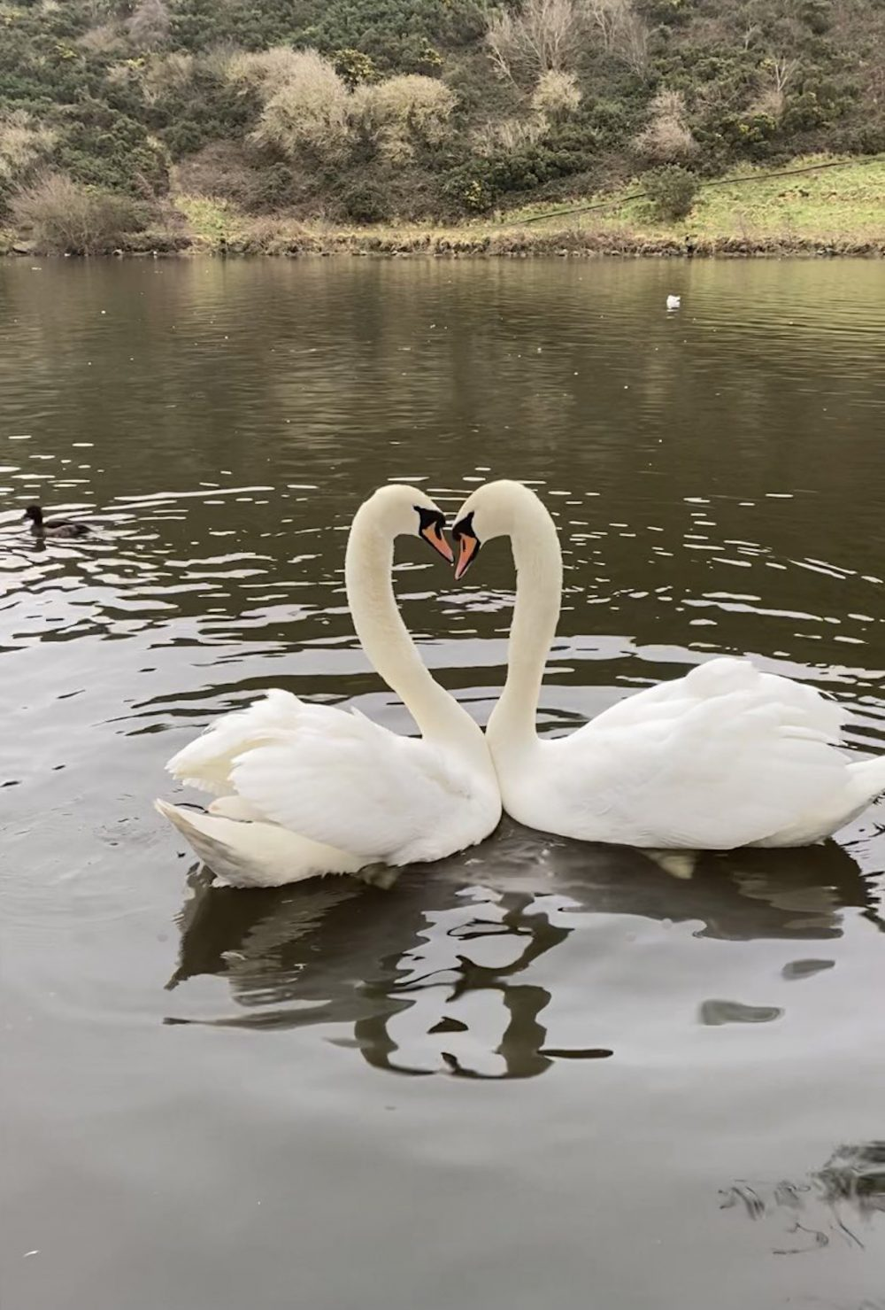 The Edinburgh Swan's in a romantic embrace -Viral News Scotland