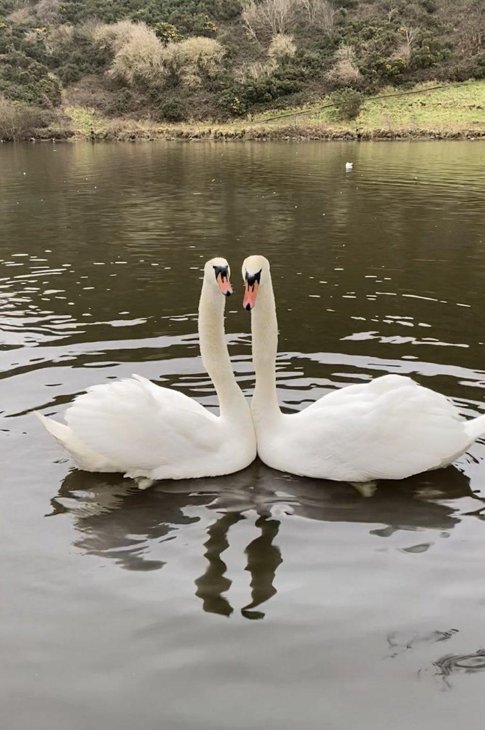 The swans staring at Maeve - Viral News Scotland