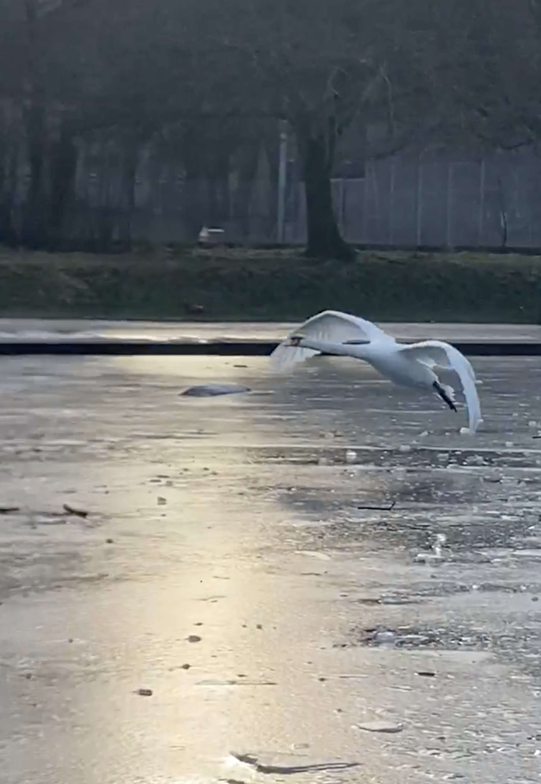 father swan lands on ice - Nature News Scotland