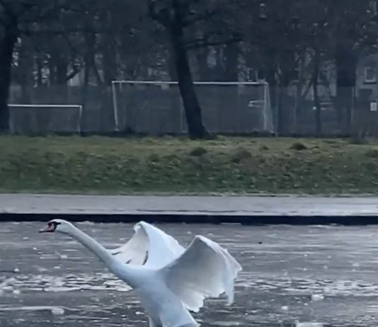 Father swan teaches cygnets how to land
