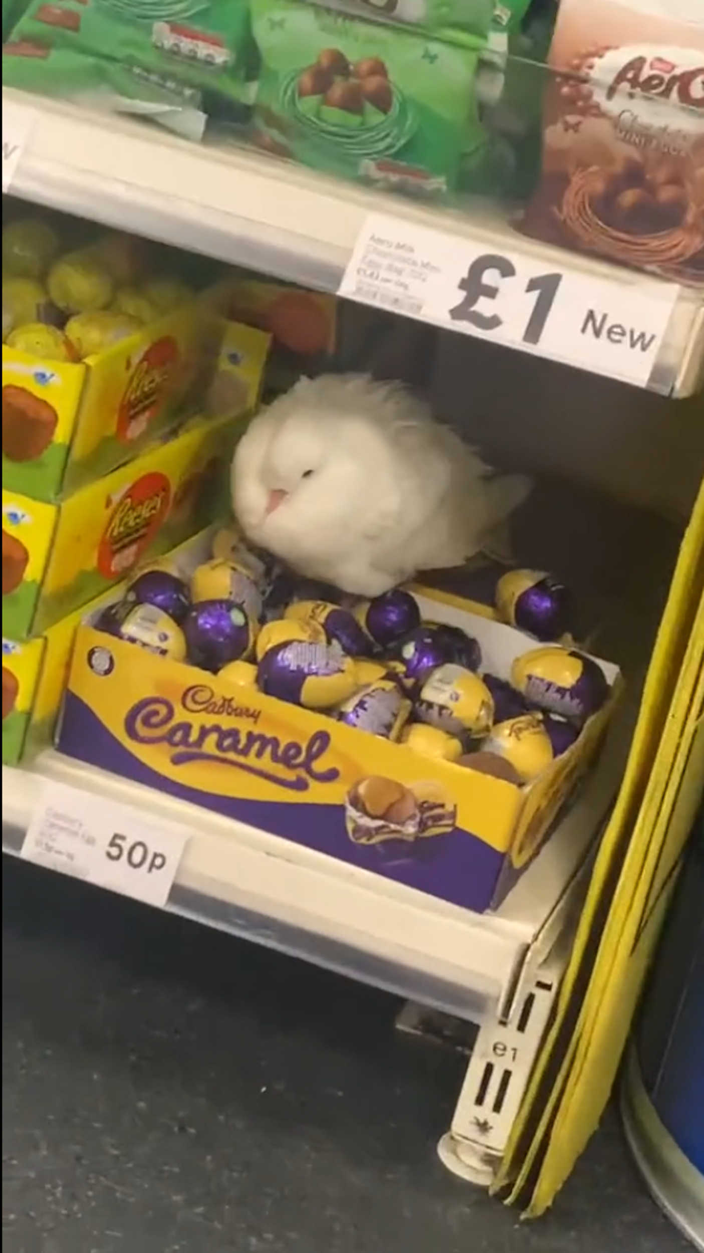 pigeon nesting in Tesco - Viral Video News