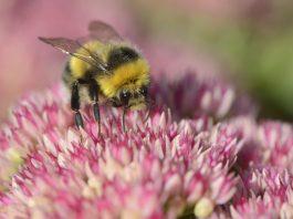 A bumblebee feeding on a garden sedum. Wolfhill, September 2013.©Lorne Gill - Environment News Scotland