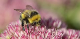A bumblebee feeding on a garden sedum. Wolfhill, September 2013.©Lorne Gill - Environment News Scotland