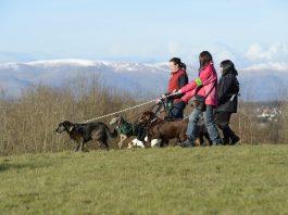 Commercial Dog Walkers near the Falkirk Wheel.©Lorne Gill/SNH - Animal News Scotland