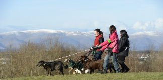 Commercial Dog Walkers near the Falkirk Wheel.©Lorne Gill/SNH - Animal News Scotland