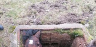 Horse stuck in hole rescued - Nature News UK