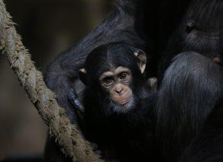 Masindi and Edith_Chimpanzee_Budongo_Kate Grounds - Nature News Scotland