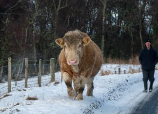 Farmer pictured walking with massive bull