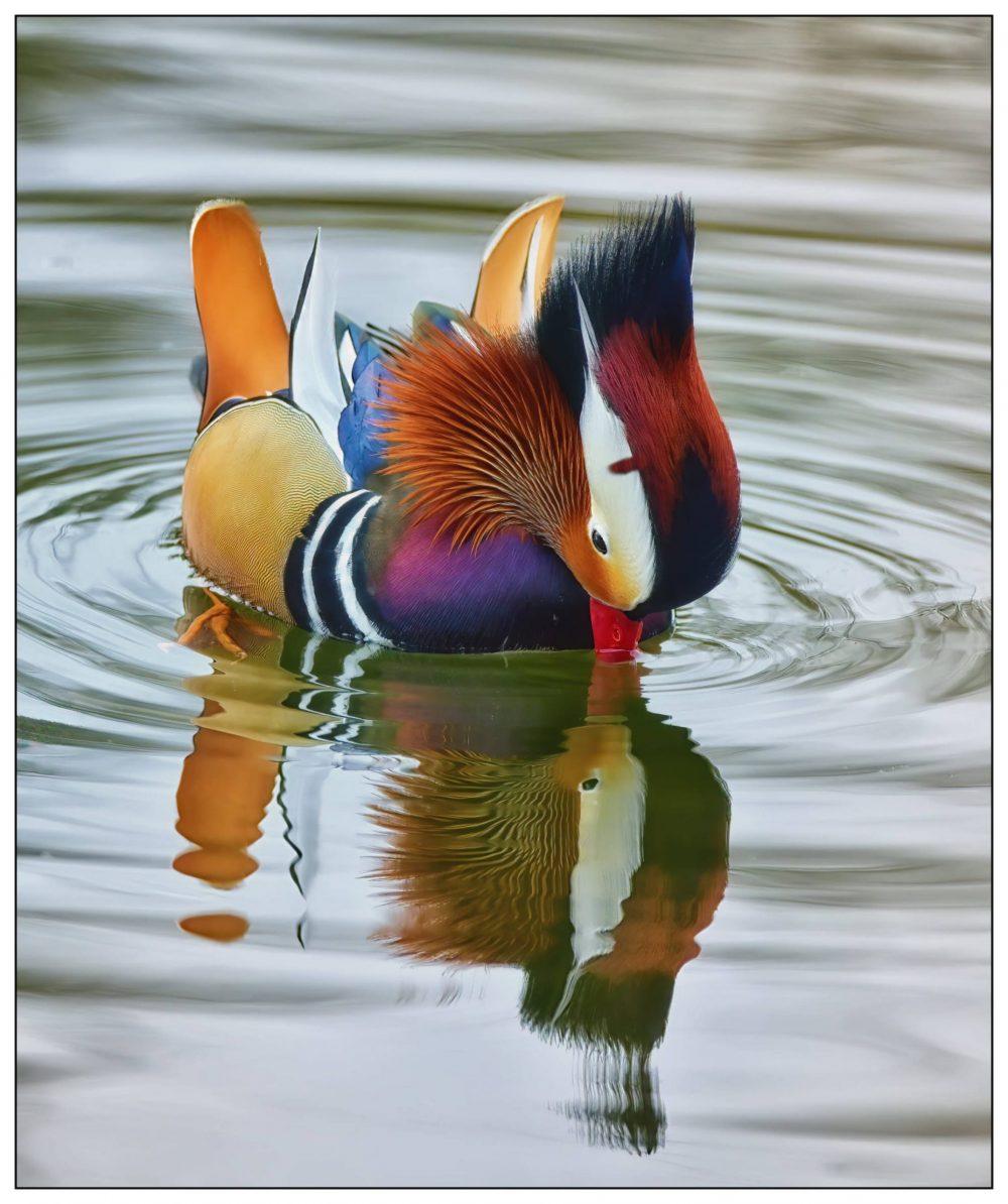Mandarin Duck | Scottish News