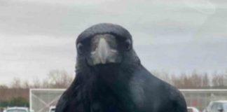 Hungry Crow   Scottish News