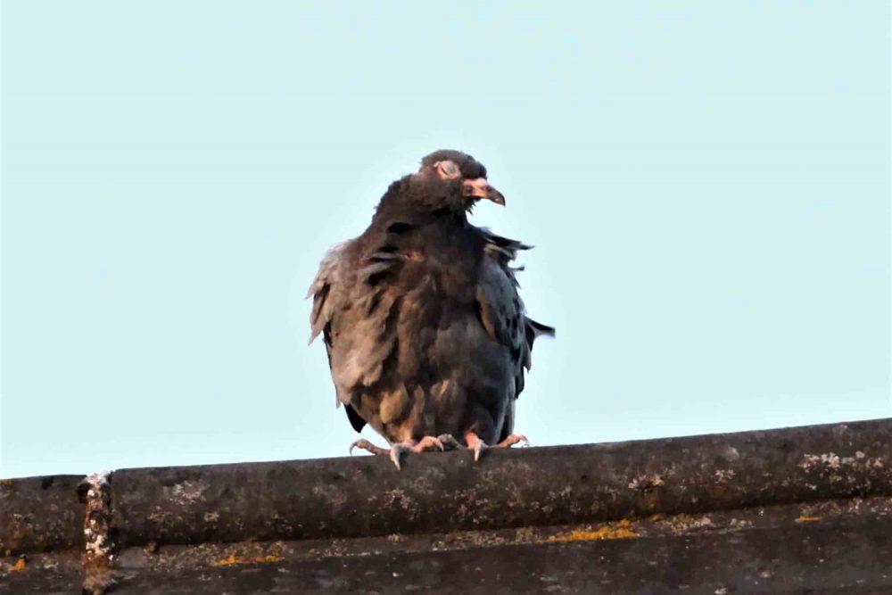 The sleeping pigeon | Nature News UK
