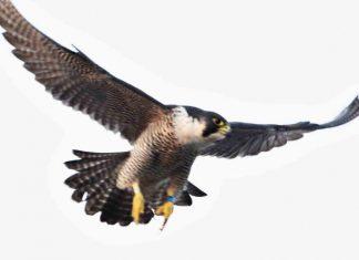 The peregrine falcon attacks | Nature News UK