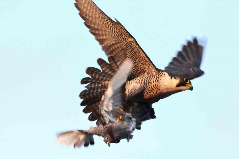 Peregrine falcon hunts | Nature News UK