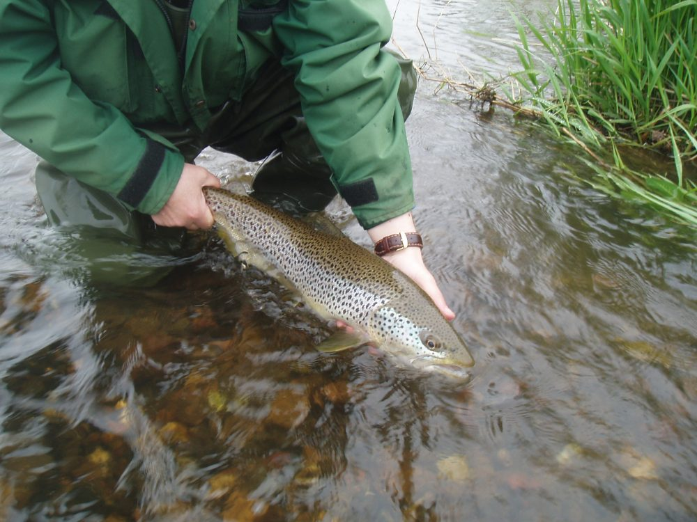 A picture of a trout - Research News Scotland