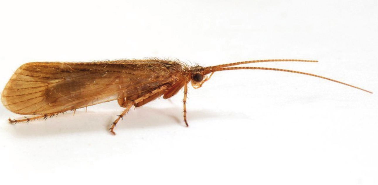 Limnephilus pati (c) Robin Sutton 0- Animal News Scotland