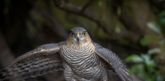 Sparrowhawk feasting on starling | Nature News Scotland
