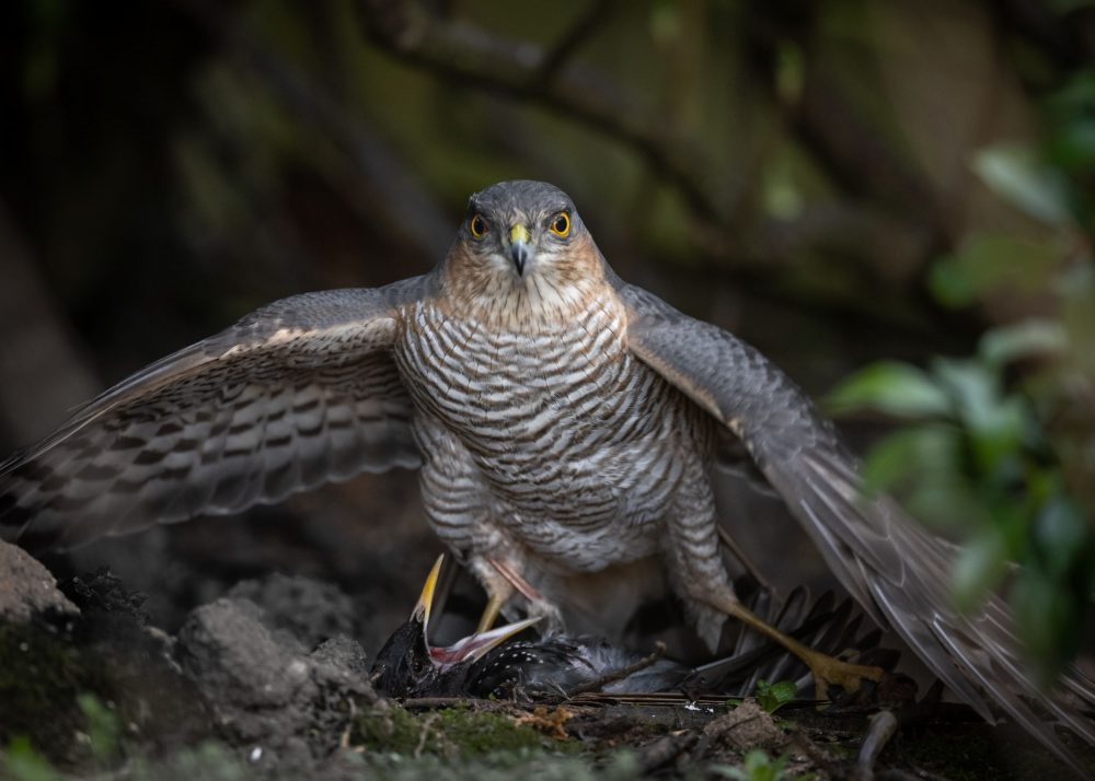 Sparrowhawk feasting on starling   Nature News Scotland