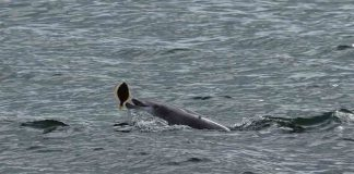 Scots engineer captures images of dolphins hunting - Scottish News
