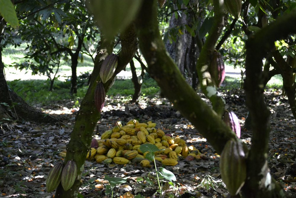A Cocoa harvest - Research News Scotland