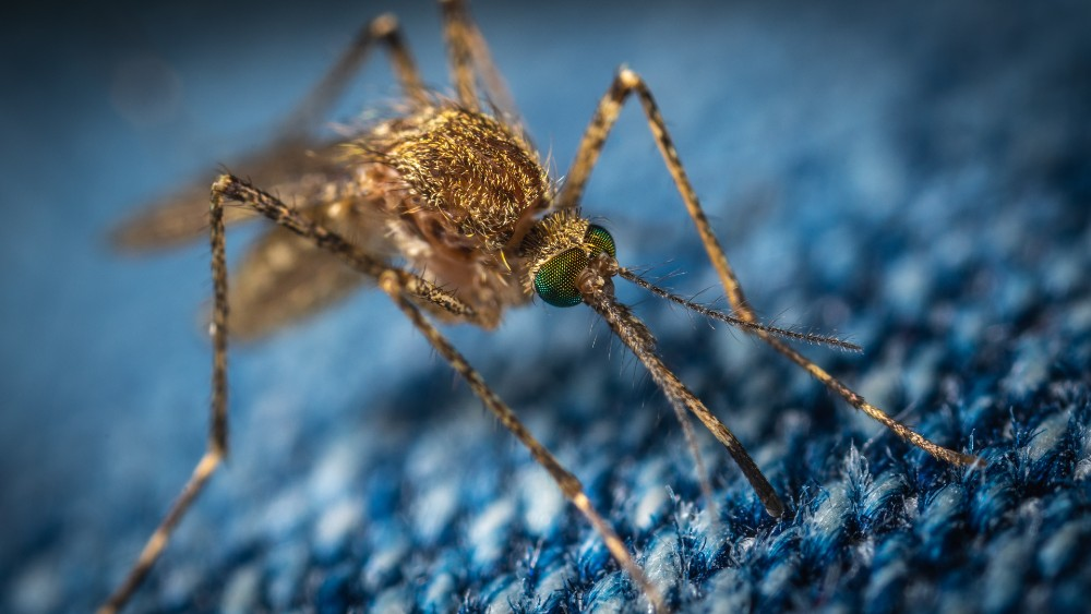Mosquito - Research News Scotland