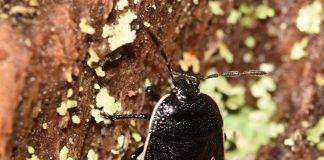 Rare cow wheat shieldbug - Animal News Scotland
