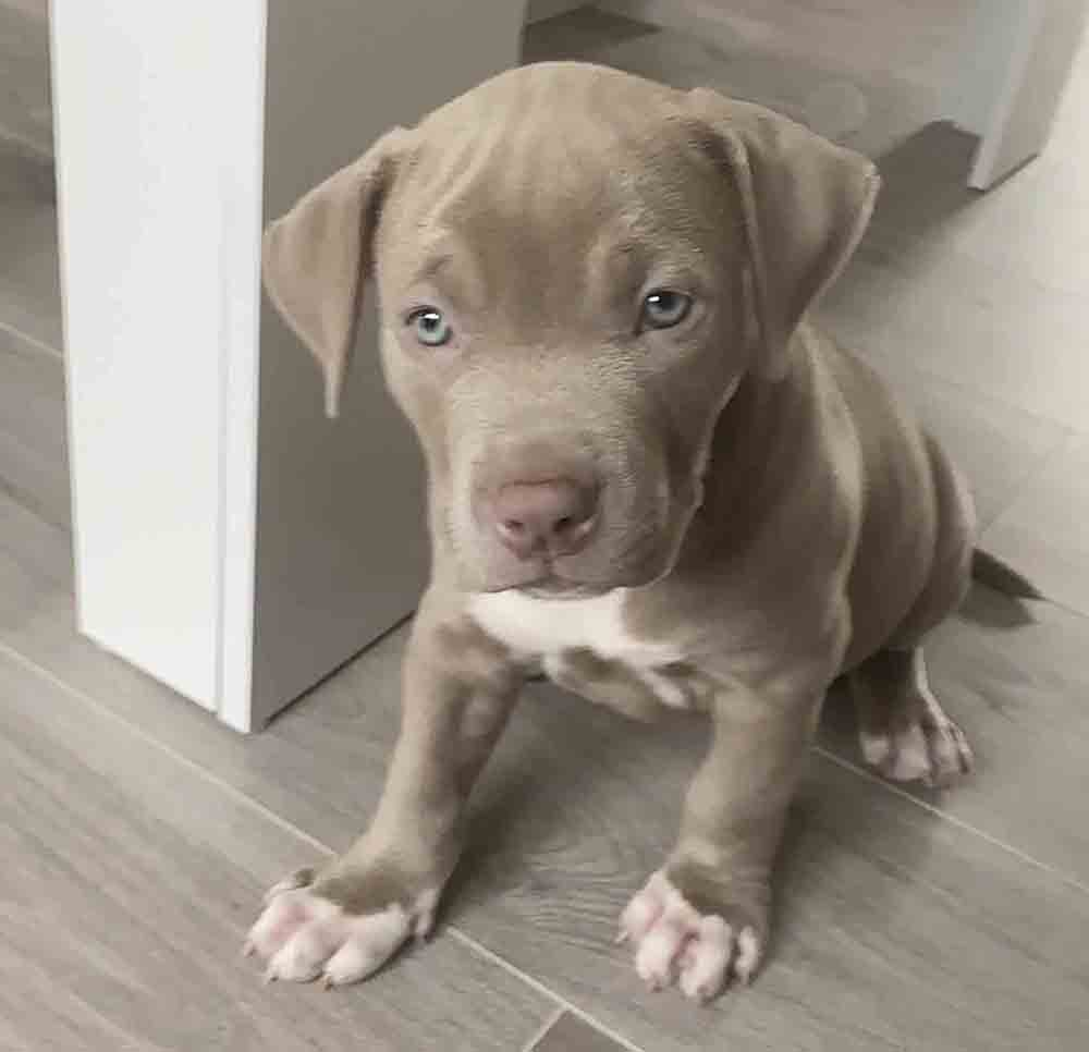 Police launch an appeal after puppy stolen from Glasgow home - Scottish News