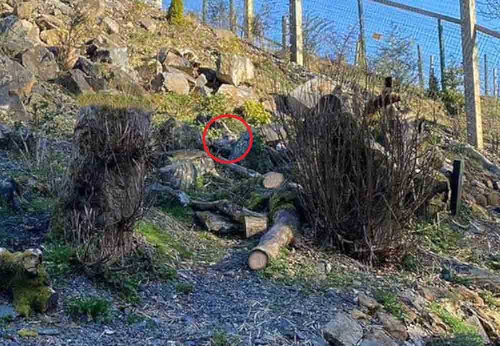 Scottish Zoo shares almost impossible challenge to spot the snow leopard - Animal News