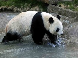 Edinburgh hope to extend Panda lease FOI shows - Scottish News