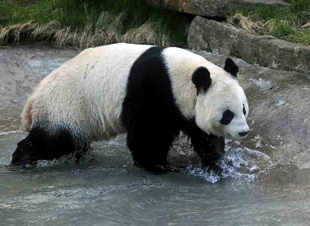 Edinburgh hope to extend Panda lease FOI shows - Scottish News