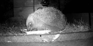Real life sonic the hedgehog | Wildlife News UK
