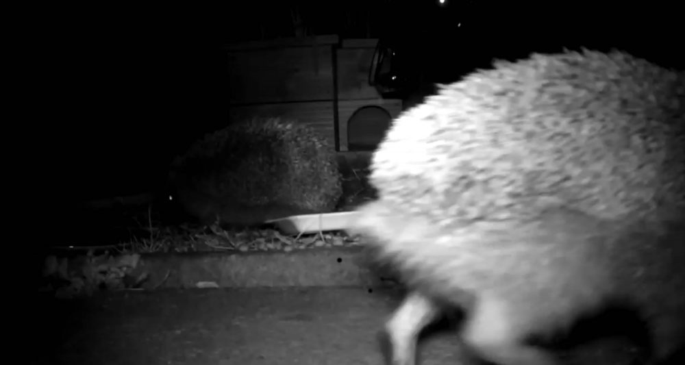 Real life sonic the hedgehog | Wildlife News UK