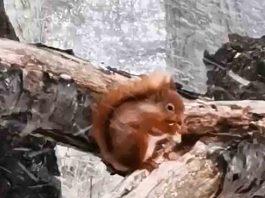 Hardy Squirrel Braves Blizzard   Scottish News