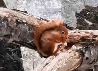 Hardy Squirrel Braves Blizzard | Scottish News