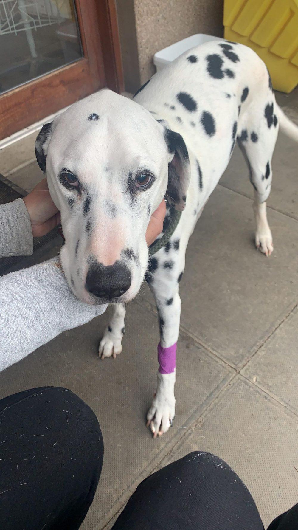 Milo after surgery - Animal News Scotland