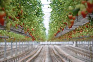 AVA berries selected for UK supermarkets special range - Scottish News