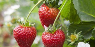 Scottish strawberries to hit UK supermarkets after a delay - Scottish News