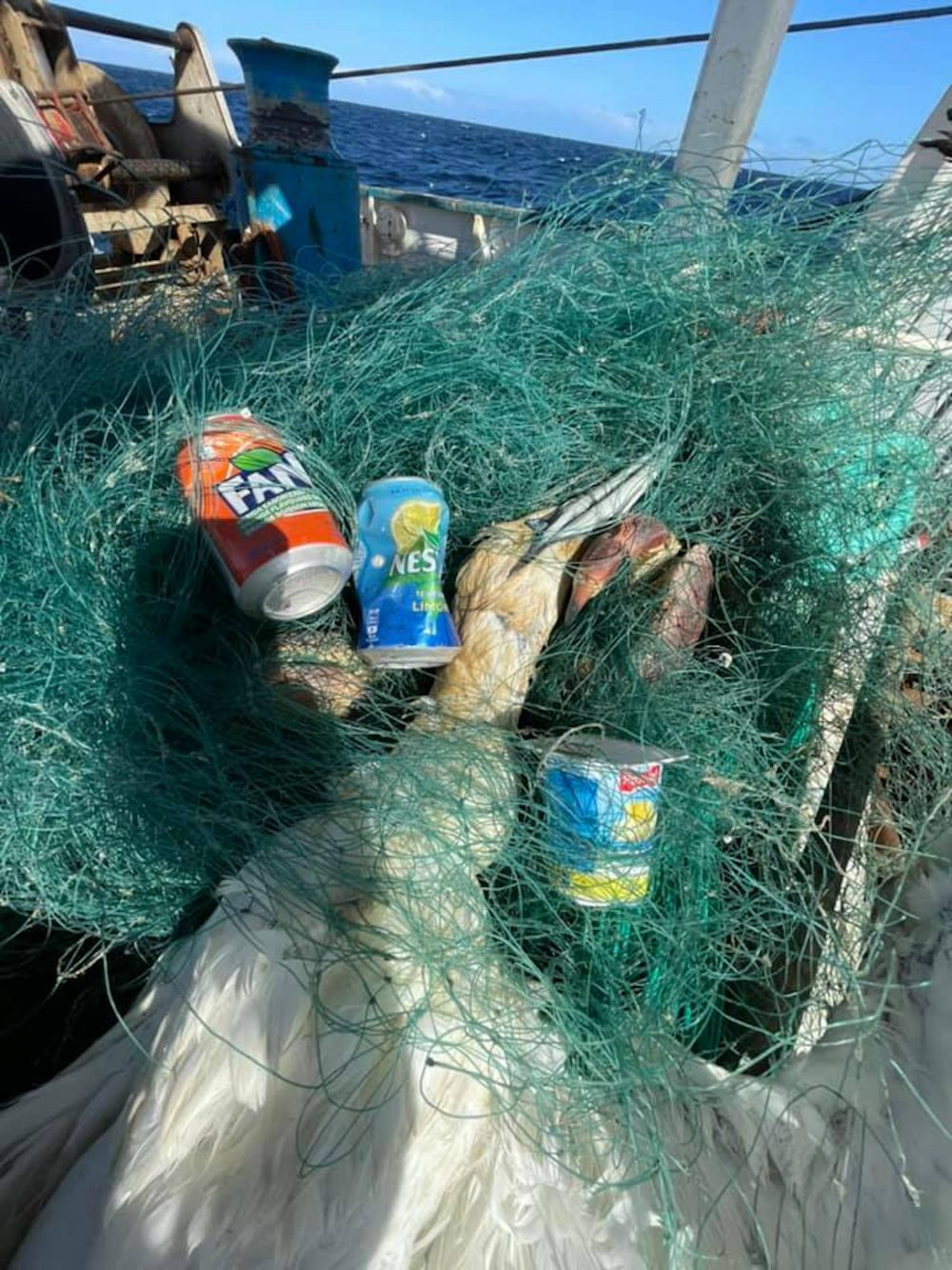 The Dead Gannet Tangled in Green Fishing wire   Scottish Wildlife News